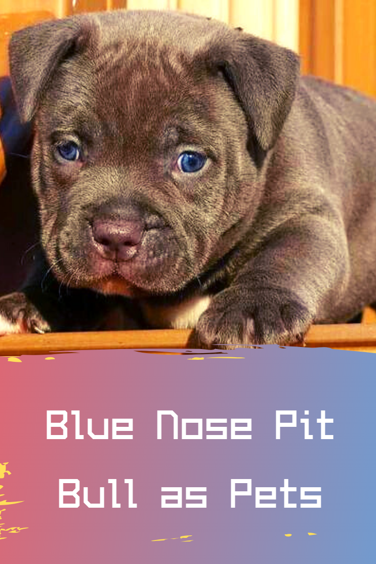blue nose pit bull as pets