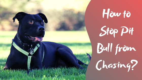 how to stop pit bull from chasing