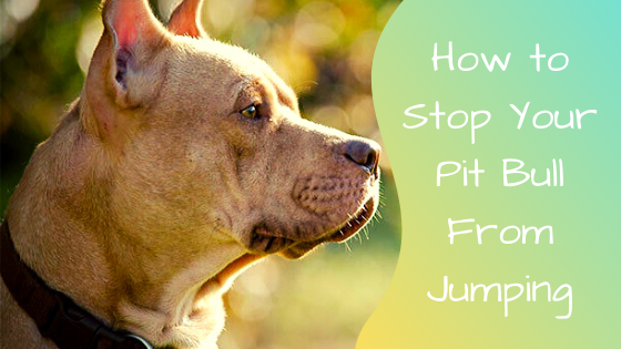how to stop your pit bull from jumping