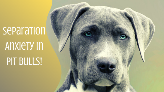 separation anxiety in pit bulls