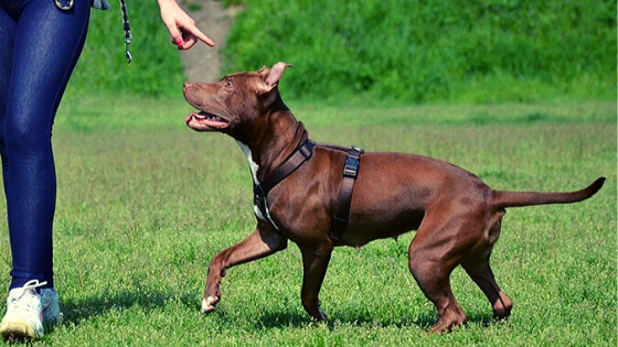 Training a Red Nose Pitbull