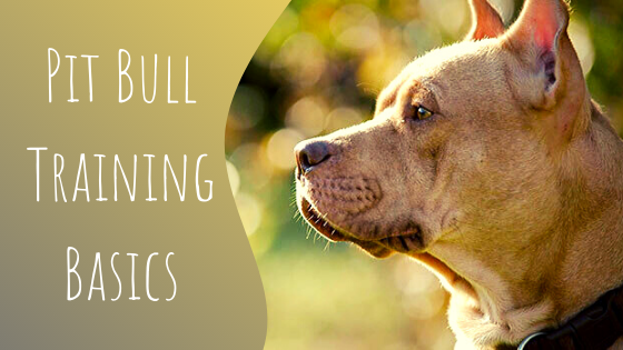 pit bull training basics