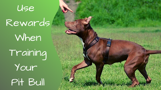 use rewards when training your pit bull