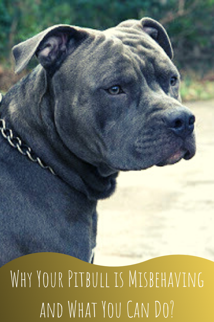 why your pitbull is misbehaving and what you can do