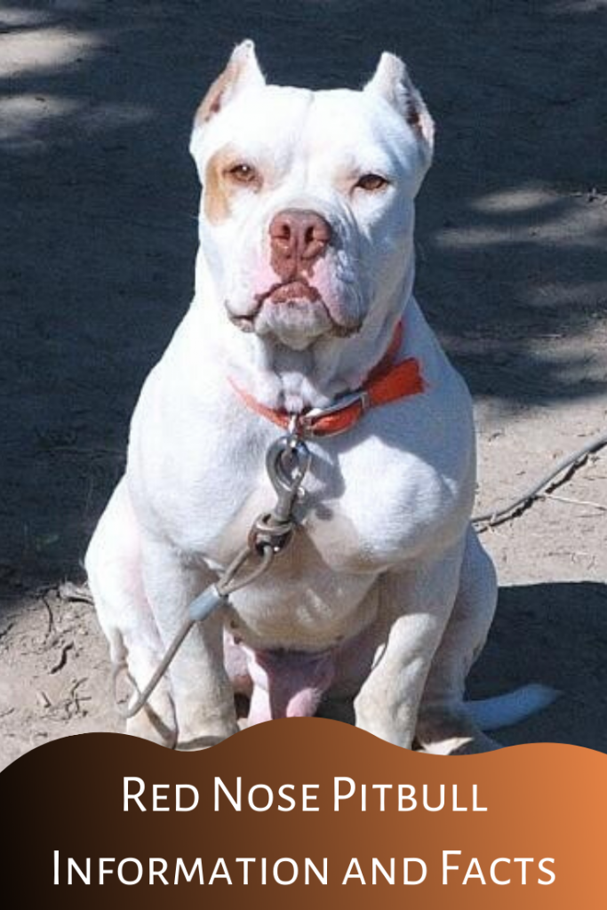red nose pitbull information and facts