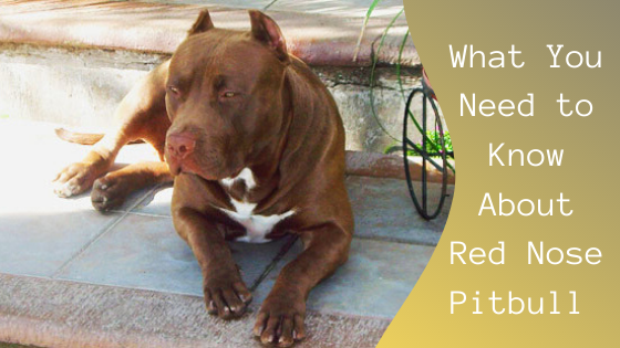 what you need to know about red nose pitbull